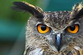 Eagle Owl Face