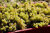Wine Harvest (riesling), Czech Republic