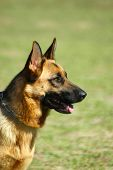 image of german shepherd dogs  - A cute German Shepherd dog head portrait with alert expression in the face watching other dogs in the park - JPG
