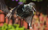 Starling In Flight