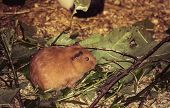 The Guinea Pig Or Domestic Guinea Pig, Also Known As Cavy Or Domestic Cavy, Is A Species Of Rodent B poster