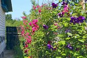 Delicate Roses And Clematis Blossom Near House. Flowers Of Climbing Red Rose And Blue Clematis Bloom poster