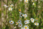 Chamomile Meadow / Green Meadow On A Sunny Day / Field Chamomiles / Insects In Flowers On A Meadow poster