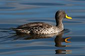 Yellowbilled Duckimg_1200