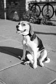 Dog. Cute Dog Sits On Pathway On Sunny Day Outdoor. Pet, Companion, Friend Friendship. Protection Al poster