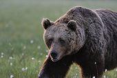 Big Male Bear Walking