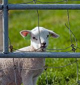 Lamb looking at you