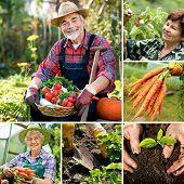 Постер, плакат: Сбор урожая