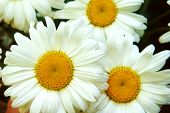White Big Daisy Flower, Daisy Flowers Close-up, Yellow Middle White Petals, Close-up, Growing In The poster