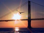 Golden Gate Seagull