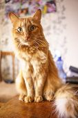 Close Up Photo Of Red Fluffy Tabby Male Cat With Green Eyes, Home Interior poster