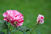Bright Green Background That Serves To Highlight The Bright  Colorful Pink Striped Roses In Landscap poster