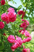 Red Flowers Of Climbing Rose Bloom In Garden Near House. Beautiful Roses Growing Near House. Pink Ro poster