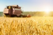 Selective Focus On Golden Ripe Wheat. Agriculture Machine Harvesting Field In Rays Of The Sun. Agric poster