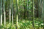 Bamboo Grass Stalk Plants Stems Growing In Dense Forest As A Peaceful Green Background poster