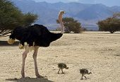 Male of African ostrich (Struthio camelus) with his young chicks