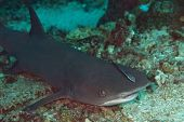 White-tip Reef Shark with Sharksucker