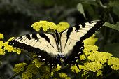 Black And White Zebra Swallowtail Butterfly On Yellow Flowers
