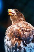 picture of novosibirsk  - Portrait of the eagle - JPG