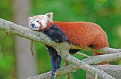 Roter Panda auf einem Baum
