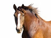 pic of horse head  - An isolated image of the brown horse - JPG