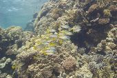 stock photo of dory  - Shoal of Dory Snapper on a tropical coral reef - JPG