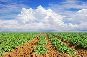 Green potato fields against blue sky