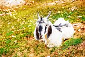Goat lying on mountainous hills