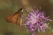 Least Skipper Pollinating Spotted Knapweed