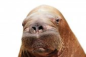 portrait of walrus isolated over white