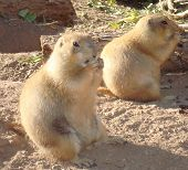 Snacking Prairie Dogs