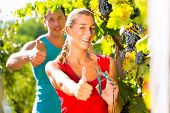 Woman and man, winegrower, picking grapes at harvest time and having fun in the sunshine
