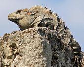 Mayan Iguana On A Rock