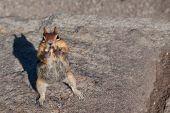 Chipmunk Beggar