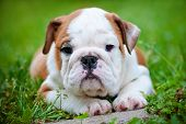 stock photo of fluffy puppy  - english bulldog puppy resting outdoors on grass - JPG