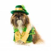 Shih Tzu Celebrates St. Patrick's Day
