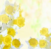 Daffodils On A Bright Abstract Background
