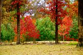 foto of crepe myrtle  - Vibrant Fall color adorning the woods and landscape