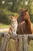 stock photo of brown horse  - Red border collie dog and horse together at sunset in summer - JPG