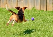 image of leaping  - Beagle leaping in the air chasing a rubber ball - JPG