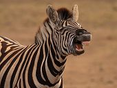Burchells Zebra equus Burchellii Showing Flehmen Response (pheremone Detection With Jacobsons Orga