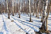Morning In Spring Birch Forest