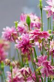 stock photo of columbine  - Aquilegia (common names: Granny