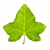 pic of ivy  - Ivy leaf isolated on a White background - JPG