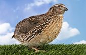 image of quail  - Brown quail - JPG