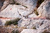 Spanish Ibex, Capra Pyrenaica In The Mountains