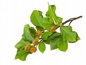 foto of beechnut  - Beech Branch with leaves and seeds isolated - JPG