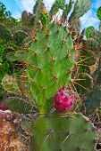 pic of prickly pears  - Red fruits of prickly pear on background of blue sky Vietnam - JPG