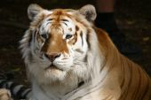 Aust2 de tigre