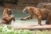 Filhote de tigre na luta